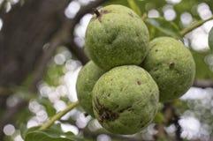 Nueces con la cáscara verde en rama de árbol imagenes de archivo