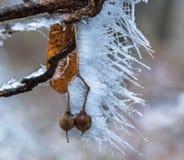Nueces congeladas Fotos de archivo libres de regalías