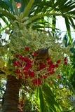 Nueces de betel rojas del primer en el árbol de Plam imágenes de archivo libres de regalías