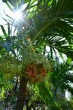 Nueces de betel rojas del primer en el árbol de Plam imagenes de archivo
