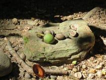 Nueces de Daintree Imagen de archivo