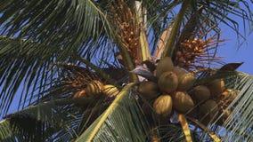 Nueces de los Cocos en la palma