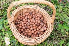Nueces de macadamia en cesta Imagenes de archivo