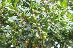 Nueces de macadamia inmaduras que cuelgan en árbol Fotos de archivo libres de regalías