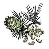 Nueces de pino y ejemplo exhausto de la mano del vector del cono del cedro stock de ilustración