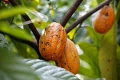 Nueces del cacao en la granja de la especia de Sahakari, Curti, Ponda, estado de Goa, la INDIA Imagenes de archivo