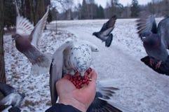 Nueces del peck de las palomas que se sientan en una mano Imágenes de archivo libres de regalías