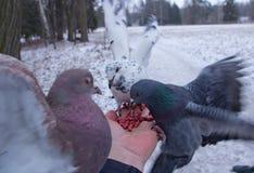 Nueces del peck de las palomas que se sientan en una mano Fotografía de archivo