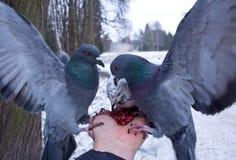 Nueces del peck de las palomas que se sientan en una mano Foto de archivo libre de regalías