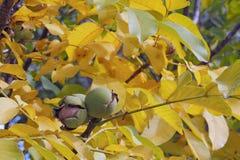 Nueces en el árbol Fotografía de archivo libre de regalías