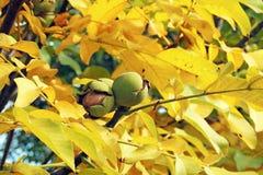 Nueces en el árbol Imagen de archivo libre de regalías