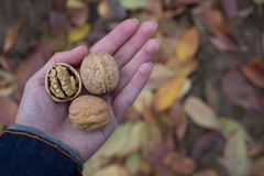 Nueces en la palma Imagen de archivo libre de regalías