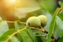 Nueces en un árbol Fotografía de archivo libre de regalías