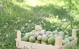 Nueces frescas en un jardín imagen de archivo libre de regalías