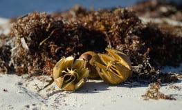 Nueces maduras de las frutas que mienten en una playa arenosa Fotografía de archivo
