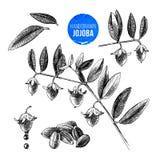 Nueces, ramas y frutas de la jojoba Imágenes de archivo libres de regalías