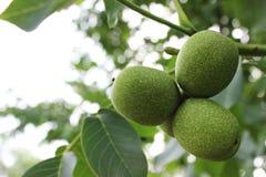 Nueces verdes Foto de archivo