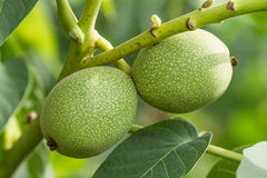 Nueces verdes en el árbol Foto de archivo libre de regalías