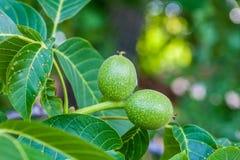 Nueces verdes en el árbol Imagen de archivo libre de regalías