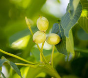 Nueces verdes en un árbol en la naturaleza Foto de archivo libre de regalías