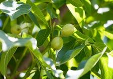 Nueces verdes en un árbol en la naturaleza Fotos de archivo