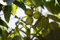 Nueces verdes en un árbol en la naturaleza Imagen de archivo libre de regalías