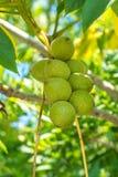 Nueces verdes en un árbol Muchas nueces en un árbol, naturaleza Foto de archivo