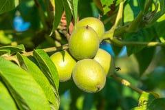 Nueces verdes en un árbol Muchas nueces en un árbol, naturaleza Imagen de archivo