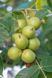 Nueces verdes en un árbol Muchas nueces en un árbol, naturaleza Fotografía de archivo