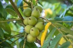 Nueces verdes en un árbol Muchas nueces en un árbol, naturaleza Fotos de archivo
