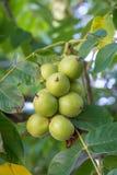 Nueces verdes en un árbol Muchas nueces en un árbol, naturaleza Fotografía de archivo libre de regalías