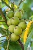 Nueces verdes en un árbol Muchas nueces en un árbol, naturaleza Imagen de archivo libre de regalías