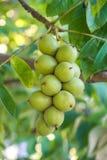 Nueces verdes en un árbol Muchas nueces en un árbol, naturaleza Foto de archivo libre de regalías