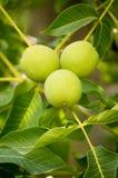 Nueces verdes que crecen en un árbol Imagenes de archivo