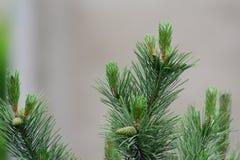Nueces y conos del pino Foto de archivo