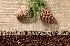 Nueces y ramas siberianas de pino Imagen de archivo libre de regalías