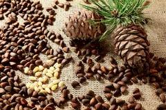Nueces y ramas siberianas de pino Fotografía de archivo libre de regalías