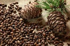Nueces y ramas siberianas de pino Imágenes de archivo libres de regalías
