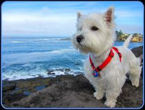 Nuestro Westie (Annie) en la bahía Oregon del depósito Imagen de archivo