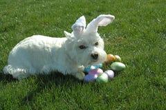 Nuestro Westie (Annie) que es defensivo sobre su escondite del huevo de Pascua Imágenes de archivo libres de regalías