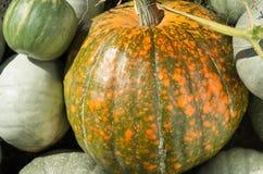 Nueva cosecha de la calabaza Foto de archivo