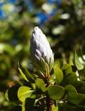 Nueva floración blanca del protea en una rama Foto de archivo libre de regalías