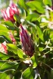 Nueva floración del rojo del protea Foto de archivo