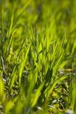 Nueva hierba verde Fotos de archivo libres de regalías