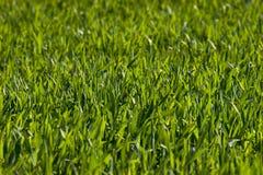 Nueva hierba verde Fotografía de archivo libre de regalías