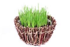 Nueva hierba verde fresca en un cuenco de madera aislado en el fondo blanco Foto de archivo