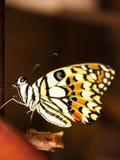 Nueva metamorfosis de la mariposa foto de archivo