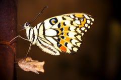 Nueva metamorfosis de la mariposa fotografía de archivo
