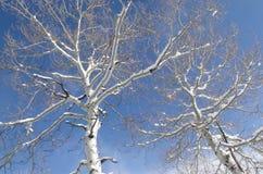 Nueva nieve en álamo temblón descubierto del invierno Imagenes de archivo