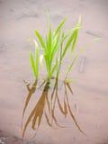 Nueva planta de arroz Fotos de archivo
